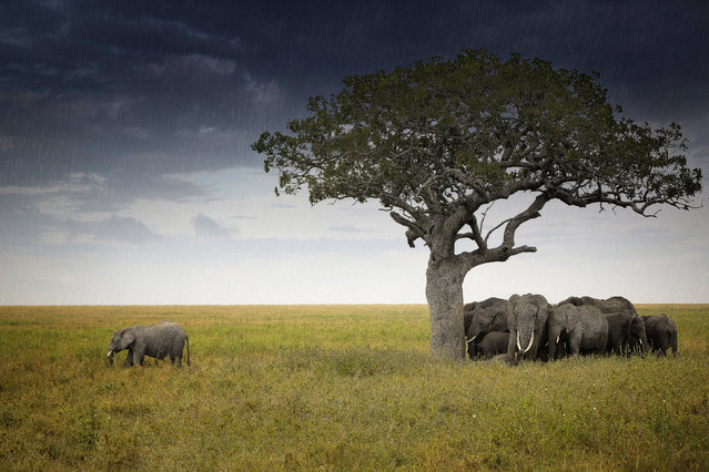 A sad-looking elephant was forced to stand out in the rain – while others took shelter beneath a nearby tree. Its companions watched as the young male stared into the distance with a thunderstorm fast approaching. The unique shot was captured in the Serengeti National Park, Tanzania, by photographer Kelvin Zhang from Los Angeles in California, USA. Kelvin, who works as a scientist, was initially drawn to an acacia tree as he was also seeking shelter from the oncoming storm. (Photo by Caters News)