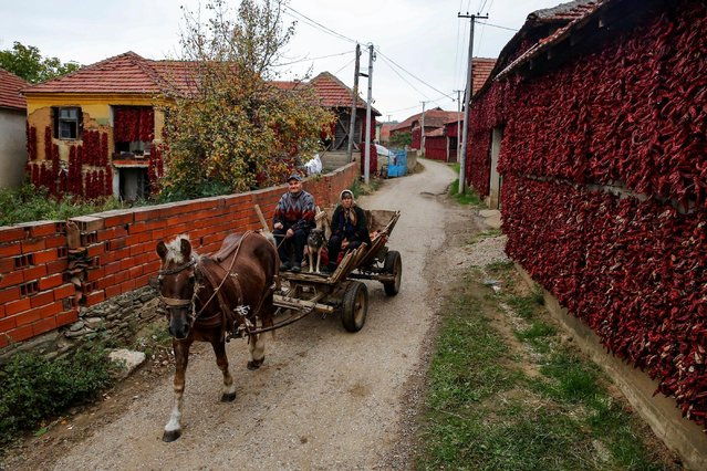 People ride a carriage pulled by a horse as bunches of paprika hang on the walls of houses to dry in the village of Donja Lakosnica, Serbia October 6, 2016. (Photo by Marko Djurica/Reuters)