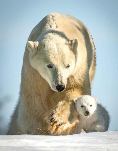 A Polar bear with its cub. (Photo by David Jenkins/Caters News)