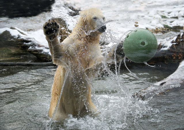 This is the moment a polar bear was seen practising its best goalkeeper skills during an energetic game of food-ball. Seen with its arms outstretched, the adorable bear managed to make a big splash with tourists by successfully catching the ball in mid-air. The lovable playtime was captured by Austrian photographer, Jutta Kirchner, 75, who watched the mammal swim excitedly before the ball was thrown into its enclosure at Vienna Zoo. (Photo by Jutta Kirchner/Caters News)