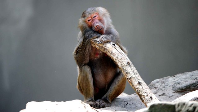A baboon sits in the shade in its enclosure in the Berlin Zoo, Germany, on July 22, 2013. (Photo by Daniel Reinhardt/AFP Photo/DPA)