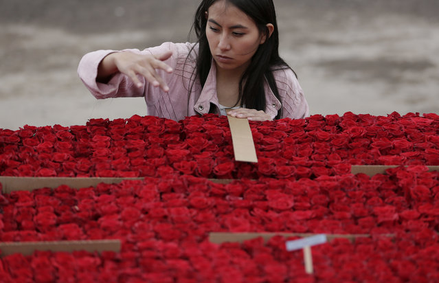 A locals counts roses that will be placed on a structure made to resemble the Cochasqui pyramid temple as they try to impose a new category in the Guinness World Record as the biggest structure made with roses, in Tabacundo, Ecuador, Friday, July 20, 2018. (Photo by Dolores Ochoa/AP Photo)