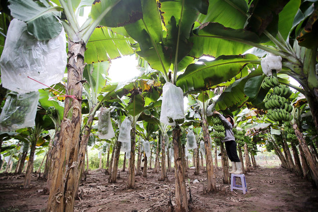 A woman tends to banana plants which are prepared for Tet holiday, the most important holiday of the year, at a banana plantation in Hung Yen province, Vietnam, 02 January 2016. Vietnam's gross domestic product (GDP) grew 6.68 percent in 2015, the highest rise since 2008, according to the government. (Photo by Luong Thai Linh/EPA)