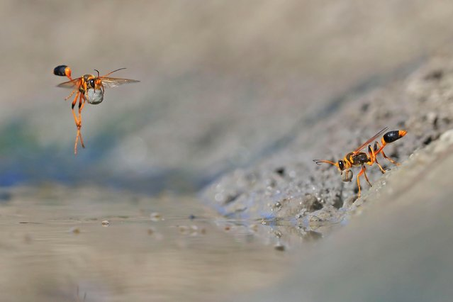 Mud-rolling mud-dauber by Georgina Steytler, Australia — winner, Behaviour: invertebrates. It was a hot summer day, and the waterhole at Walyormouring Nature Reserve, Western Australia, was buzzing. Georgina had got there early to photograph birds, but her attention was stolen by the industrious mud-dauber wasps. They were females, digging in the soft mud at the water's edge, then rolling the mud into balls to create egg chambers for their nearby nests. A female builds her external nest completely out of mud, cylindrical chamber by chamber, which cement together as the mud hardens. (Photo by Georgina Steytler/2018 Wildlife Photographer of the Year)