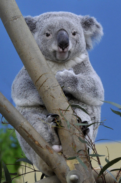 Vobara, one of two new koalas (Phascolarctos cinereus) of the Budapest Zoo is seen in the Australia House after they arrived from the Planckendael Zoo of Belgium and Duisburg Zoo in Budapest, Hungary, 05 March 2015. Vobara arrived from Germany.  EPA/ATTILA KOVACS HUNGARY OUT