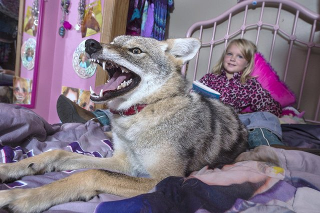 Coyote Wiley enjoys sprawling up with Hailey. (Photo by Barcroft Media)