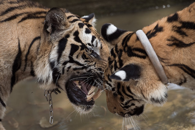 Two tigers play at the Tiger Temple in Kanchanaburi province on April 24, 2015. Thai wildlife officials began a headcount of nearly 150 tigers kept by monks at a controversial temple which has become the centre of a dispute over the welfare of the animals. (Photo by Nicolas Asfouri/AFP Photo)