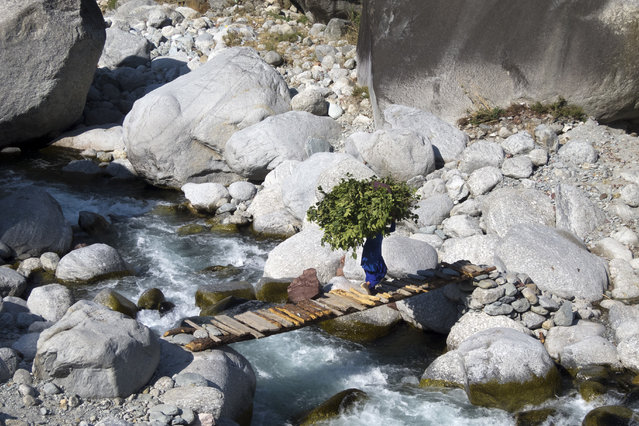 An Indian woman crosses a wood bridge across a stream as she carries a large bundle of leaves collected from the woods to be used as fodder, near Ghera village in Dharmsala, India, Tuesday, October 30, 2018. (Photo by Ashwini Bhatia/AP Photo)