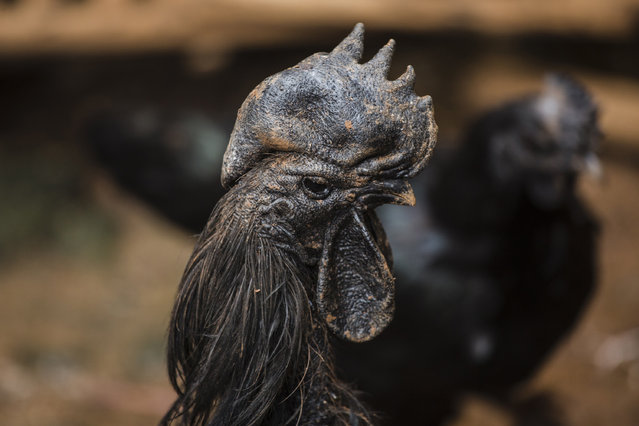 A rooster bred for its all black appearance walks through the yard of a small backyard farm on February 3, 2017 on the outskirts of Jakarta, Indonesia. (Photo by Ed Wray/Getty Images)