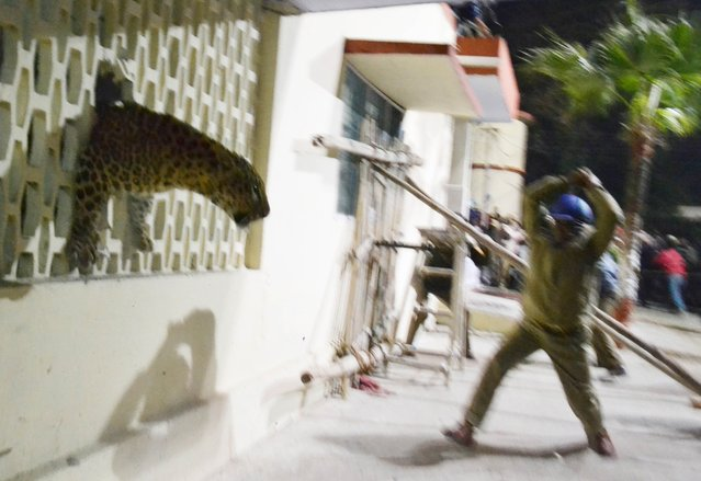 A leopard squeezes through a hole in the wall of the Meerut Cantonment Hospital as an official approaches in Meerut on February 23, 2014. A leopard sparked panic in a north Indian city when it strayed inside a hospital, a cinema and an apartment block before evading captors, an official said. (Photo by AFP Photo)