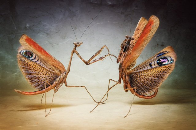 Two male African mantis Pseudempusa pinnapavonis (Peacock Mantis) show their colours in Igor's home studio in Munich, Germany. (Photo by Igor Siwanowicz/Barcroft Media)