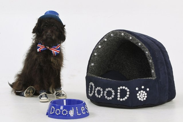 Doodles the Jackadoodle, who has won best in show in dog shows, proudly shows off his personalised dog bed and bowl. (Photo by Helen Yates/Barcroft Media)