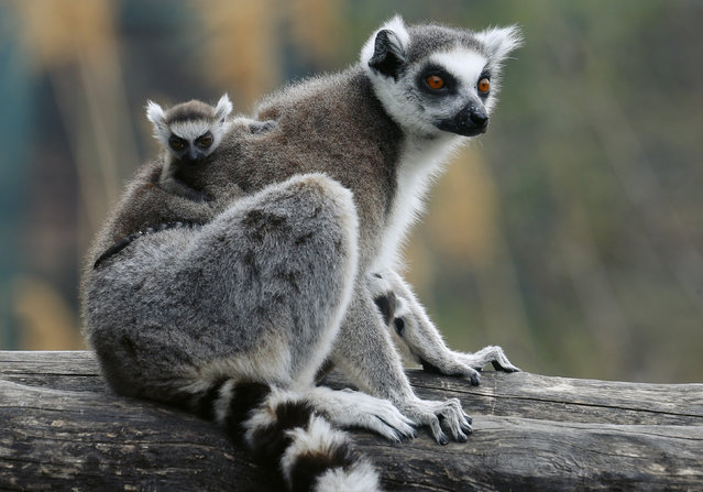 A Lemur catta, also known as ring-tailed lemur, with a thirteen-day-old cub clinging to its back, sits on a tree at the Schoenbrunn zoo in Vienna, Austria, April 1, 2016. (Photo by Heinz-Peter Bader/Reuters)