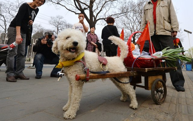 An elderly Chinese man (C) returns from a shopping trip with his dog Duoji who is pulling a small cart in Beijing on March 26, 2014. Dog ownership is popular amongst China's elderly and the growing middle class but owners cannot legally keep dogs taller than 36 centimeters. (Photo by Mark Ralston/AFP Photo)