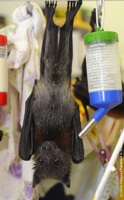 Baby Flying Foxes