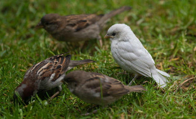 """A """"one-in-a-million"""" albino house sparrow spotted in a Scottish border town. (Photo by Phil Wilkinson/The Guardian)"""