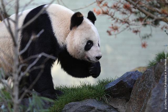 Female panda Tian Tian