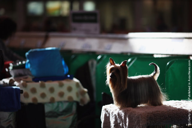 A Yorkshire Terrier waits to be groomed by it's owner on Day one of Crufts at the Birmingham NEC Arena
