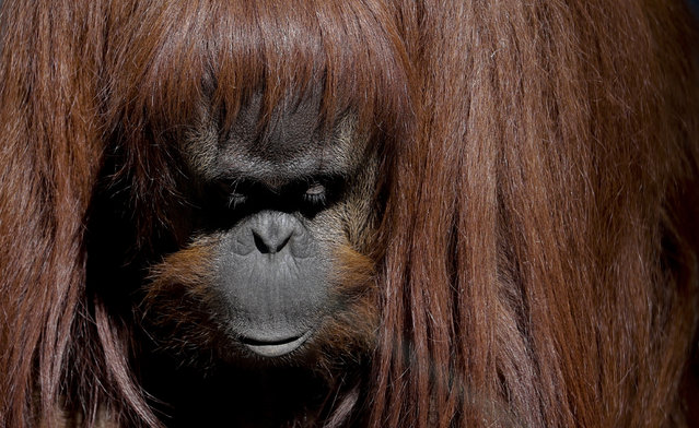 This May 16, 2017 photo shows Sandra, the orangutan, inside her enclosure at the former city zoo now known as Eco Parque, in Buenos Aires, Argentina. (Photo by Natacha Pisarenko/AP Photo)