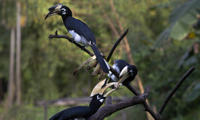 Oriental Pied Hornbills eat a banana on a tree in Mayong village, on the outskirts of Gauhati, India, Thursday, November 7, 2019. (Photo by Anupam Nath/AP Photo)