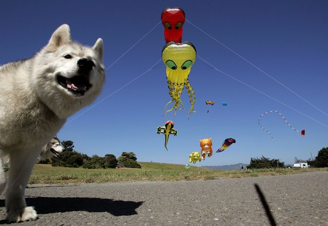 A dog looks at giant kites shaped as animals at Cesar Chavez Park July 25, 2006 in Berkeley, California. (Photo by Justin Sullivan/Getty Images)