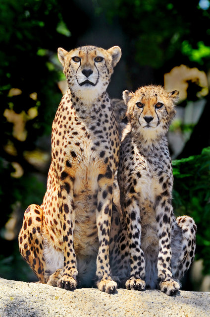 Mother cheetah and her young