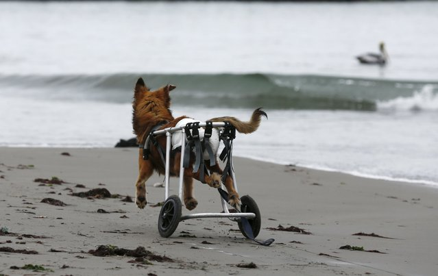 Huellas, a paraplegic dog in a wheelchair, walks at Pescadores beach in Chorrillos, Lima, September 7, 2015. (Photo by Mariana Bazo/Reuters)