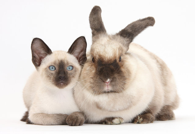 Colourpoint rabbit and Siamese kitten, 10 weeks old. (Photo by Mark Taylor/Warren Photographic/Caters News Agency)