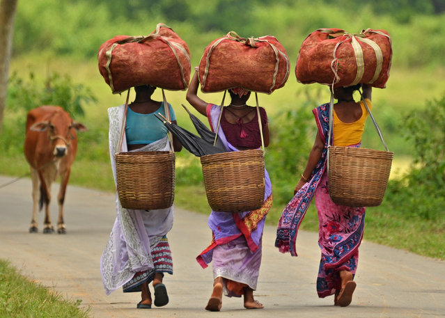 Workers carry sacks of tea leaves at a tea estate in Nagaon district in the northeastern state of Assam, India, August 22, 2016. (Photo by Reuters/Stringer)