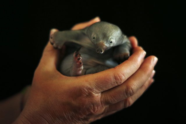 Bo, a 55-day-old baby Echidna known as a puggle, rests in the hands of vet nurse Annabelle Sehlmeier at Taronga Zoo in Sydney November 1, 2012. The puggle was bought to the Zoo after it being found by itself on a walking track north of Sydney and will be fed by hand until it is weaned at about six months of age. (Photo by Tim Wimborne/Reuters)