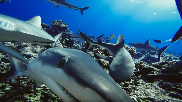 """Grey reef sharks captured by baited remote underwater video system in French Polynesia. A new landmark study has revealed sharks are absent on many of the world's coral reefs, indicating they are too rare to fulfill their normal role in the ecosystem, and have become """"functionally extinct"""". Of the 371 reefs surveyed in 58 countries, sharks were not observed on nearly 20 percent, indicating a widespread decline that has gone undocumented on this scale until now. The survey also identified conservation measures that could lead to recovery of these iconic predators. Essentially no sharks were detected on any of the reefs of six nations. (Photo by Global Finprint/AFP Photo)"""