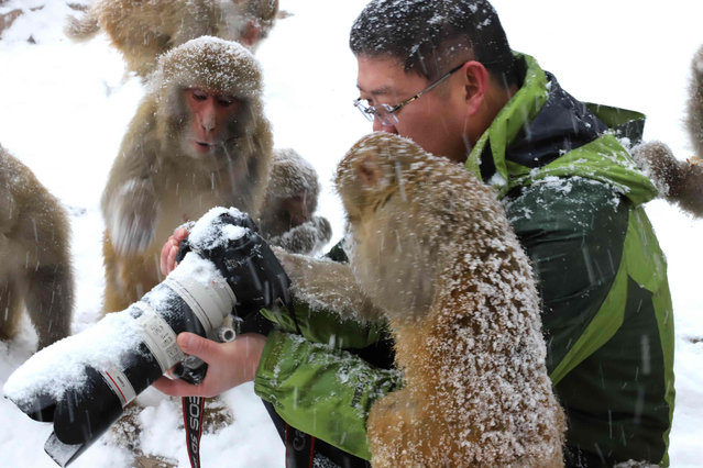 This picture taken on January 6, 2018 shows macaque monkeys looking at a man' s camera during snowfall at Wulongkou Nature Reserve in Jiyuan in China' s central Henan province. (Photo by AFP Photo/China Stringer Network)