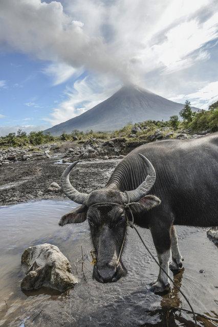 Water buffalos roam a swamp as Mount Mayon spews smoke as seen from Guinobatan, Albay province, Philippines, January 25, 2018. (Photo by Ezra Acayan/NurPhoto via Getty Images)