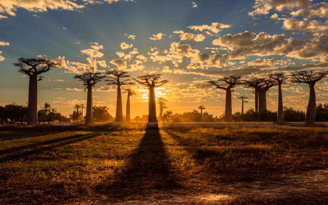 Madagascan sunset setting over the 98-foot-tall baobab trees of the Avenue of the Baobabs located in Menabe, Madagascar on August 2020. (Photo by Kim Paffen/MediaDrumImages)