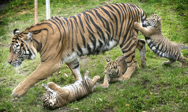Jaya walks out with Kirana, Dari, and Indah at  the Sumatran tiger enclosure at the Point Defiance Zoo & Aquarium on Thursday, December 4, 2014. The Sumatran tiger triplets born Oct. 8  weighting between two and half to three pounds. (Photo by Lui Kit Wong/AP Photo/The News Tribune)