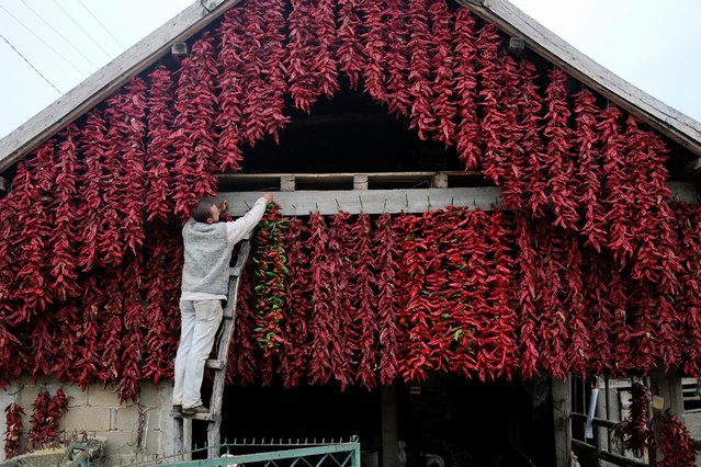 A man hangs a bunch of paprika on the wall of his house to dry in the village of Donja Lakosnica, Serbia October 6, 2016. (Photo by Marko Djurica/Reuters)