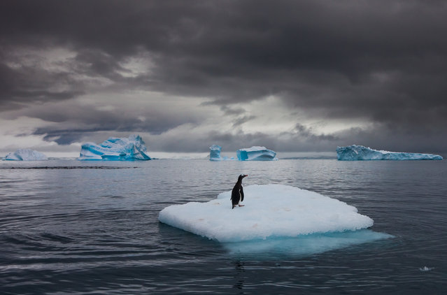 "Gentoo penguin on an iceberg in Antarctica. ""One bird on one little iceberg is a metaphor for climate change – I love this image for that"". (Photo by Art Wolfe/The Guardian)"