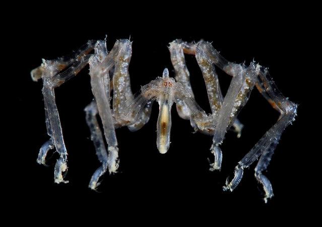Sea (not a) spider; Straits of Johore, October 2012. (Arthur Anker)