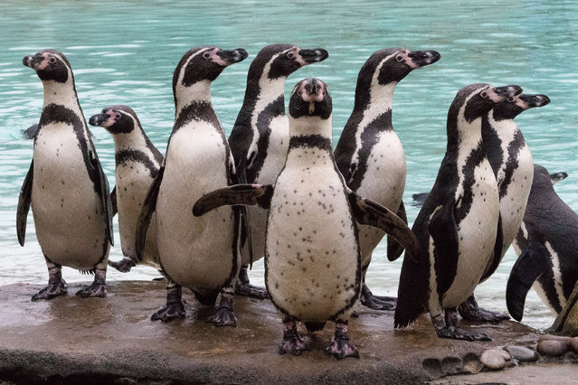 January 5, 2015 – London, UK. Penguins are counted at the London Zoo stocktake today. The annual stocktake is required as part of ZSL London Zoo's license and includes every creature. (Photo by Vickie Flores/London News Pictures/ZUMA Wire)