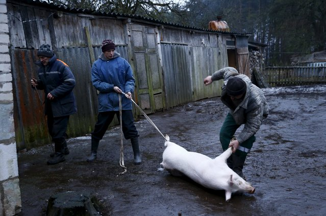 Belarussian men drag a pig from into a barn for slaughtering it in the village of Azerany, Belarus, December 12, 2015. (Photo by Vasily Fedosenko/Reuters)