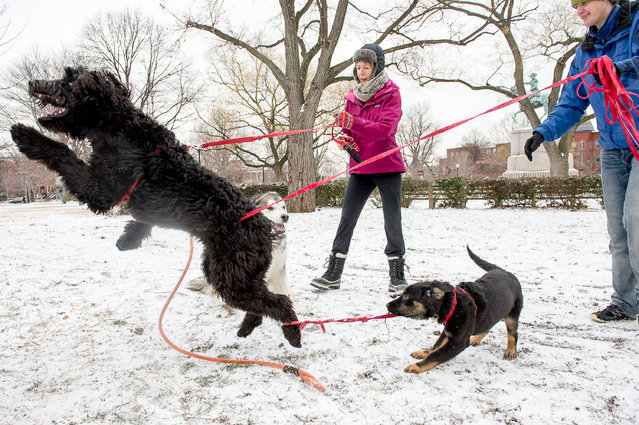 Friends Sean Warlick, right, and Anna Nelson, center, both of Washington, D.C. watch as their dogs Sophie, a rottweiler/Australian lab mix, right, and Java, a golden doodle, left, play with a friend's dog Willow, an Alaskan Malmute, center, in Stanton Park on Capitol Hill on January 27, 2015 in Washington, DC. (Photo by Andrew Harnik/The Washington Post)