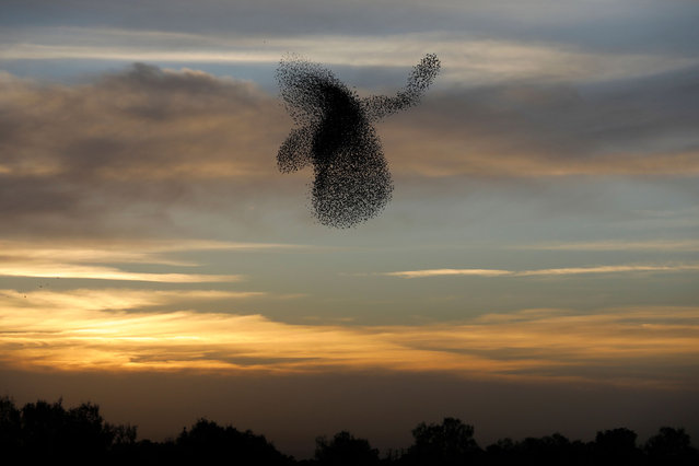 A picture taken on February 4, 2018 shows a murmuration of starlings performing their traditional dance before landing to sleep near the southern Israeli city of Rahat, in the Negev desert. (Photo by Menahem Kahana/AFP Photo)