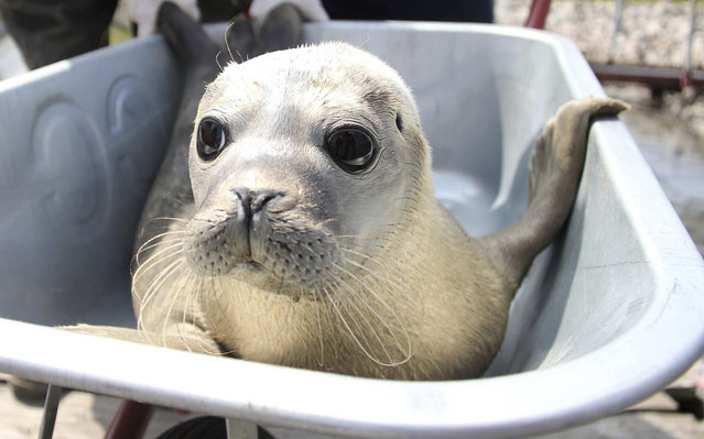 A seal is pictured inside a wheelbarrow in Friedrichskoog, Germany, on July 25, 2013. It's being transported to a boat and to be taken out to sea. (Photo by Wolfgang Runge/DPA)