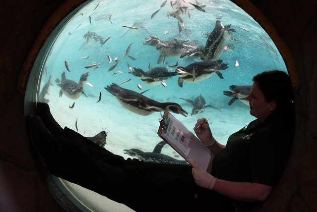 Humboldt Penguins swim in their pool as a keeper looks on through a spherical window during the annual stocktake press preview at London Zoo in Regents Park in London Monday, January 4, 2016. A requirement of ZSL London Zoo's license, the annual audit takes keepers a week to complete and all of the information is shared with zoos around the world via the International Species Information System, where it's used to manage the worldwide breeding programmes for endangered animals. (Photo by Alastair Grant/AP Photo)