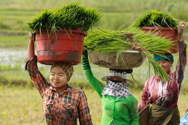 Myanmar women work in a paddy field on the outskirts of Naypyitaw, Myanmar, 24 July 2018. A floor price for paddy has been set at 500,000 Burmese Kyat (or 346 US dollar) for every 100 baskets of rice for the 2018 paddy harvesting period, the Myanmar Rice Federation announced at the Myanmar Rice Federation Stake holder Forum in March 2018 in Naypyitaw. (Photo by Hein Htet/EPA/EFE)