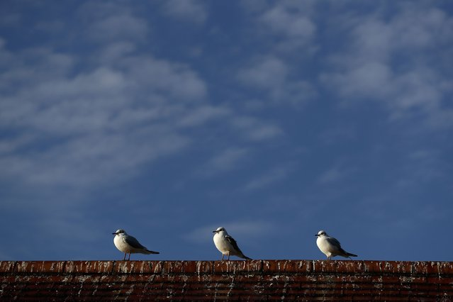 Sea gulls stand on a roof in Hyde Park in London, Britain December 28, 2016. (Photo by Stefan Wermuth/Reuters)