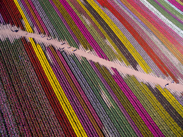 Rainbow lines. A track runs between the multicoloured lines of tulips in the Netherlands. (Photo by SkyPixel)