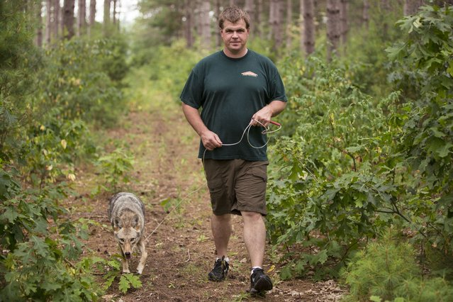 Rick Hanestad goes for a walk in the woods near his house with pet Coyote Wiley. (Photo by Barcroft Media)