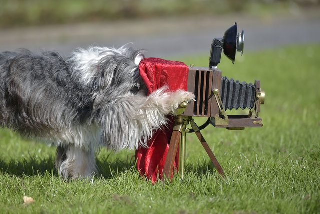 Film dog Tom Tom plays with a camera at a presentation for the dog and cat show in Dortmund, Germany, Tuesday, April 28, 2015. The eight year old Tibetan terrier played in several TV shows and commercials and shows his talents at the fair in Dortmund. (Photo by Martin Meissner/AP Photo)