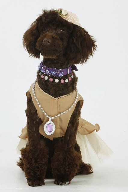 Pixi the Poodle, wearing an elegant gold evening dress with a saucer hat and statement necklace. (Photo by Helen Yates/Barcroft Media)